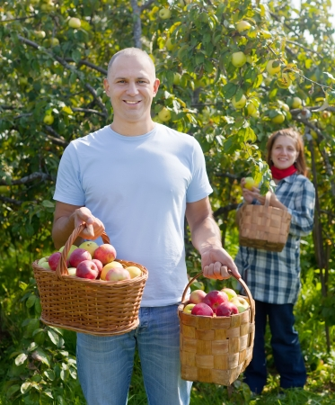 Man and woman picks apples in the orchard Stock Photo - 17658654