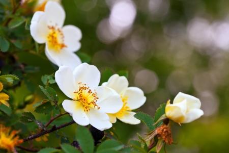 briar bush: brier flowers against blur  background with copyspace Stock Photo