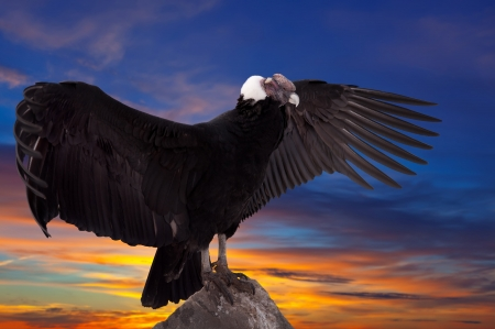 Andean condor (Vultur gryphus) against sunset sky background photo