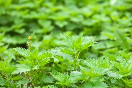 plant of  nettle in spring garden Stock Photo - 17878688