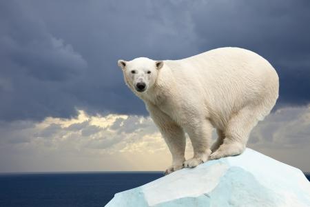 wet bear: polar bear in wildness area against sea landscape