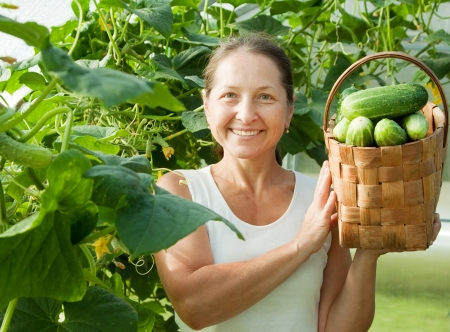 forcing bed: Mature woman with harvested cucumbers in greenhouse