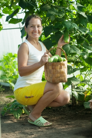forcing bed: Mature woman   harvesting cucumbers in greenhouse Stock Photo