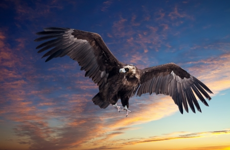 Flying black vulture  against sunset sky background photo