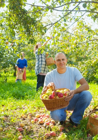 Happy family gathers apples in the garden photo