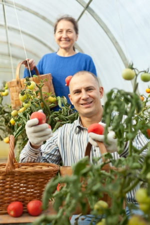 Woman and man picking tomatoes in greenhouse  photo