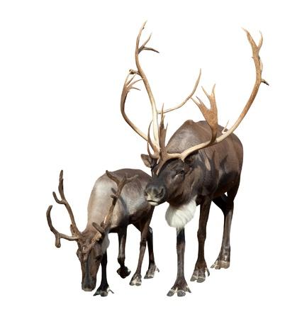 Twee Reindeer (Rangifer tarandus). Geà ¯ soleerd op witte achtergrond Stockfoto