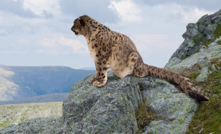 wild asia: Snow leopard  on rocky at wildness area Stock Photo