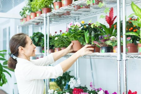 woman chooses auricula  or  hyacinth at flower shop photo