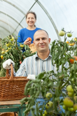 Woman and man in tomato plant  at hothouse photo