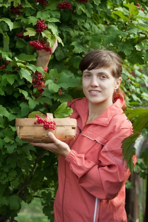 viburnum: Woman picking Viburnum in plant