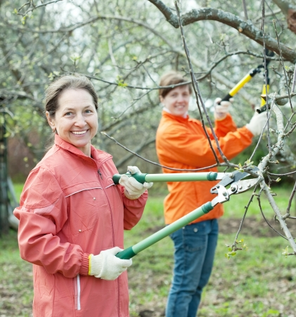 Two women pruning apple tree in the orchard  photo