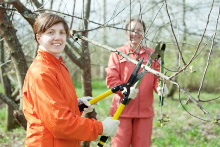 Two women pruning fruits tree in the orchard  photo