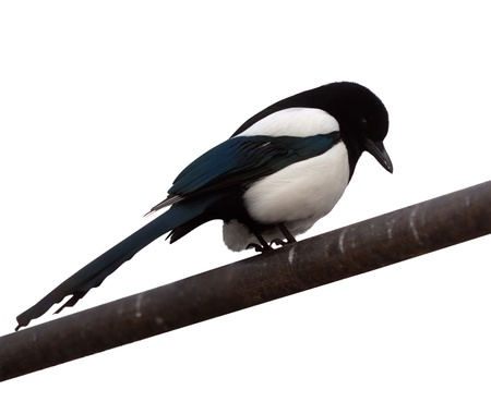 corvidae: Magpie (Pica pica).  Isolated over white background Stock Photo