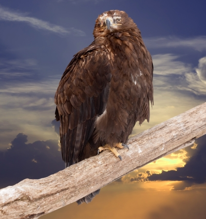 eagle sits on wood trunk against sunset sky photo