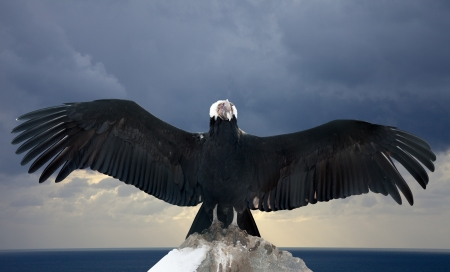 Andean condor on rock  against  sky background photo