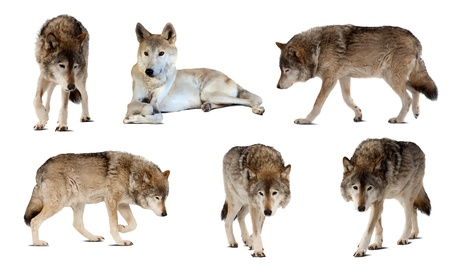 Set of few wolves. Isolated  over white  with shade photo
