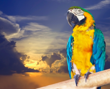 cloude: Green-winged macaw (Ara chloropterus) against sunset sky