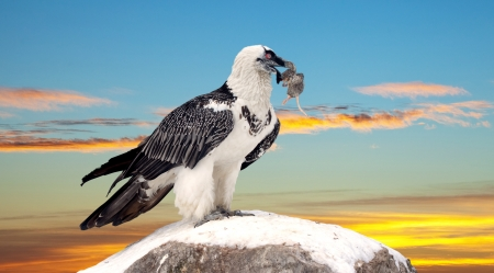 full length shot of Griffon vulture (Gyps fulvus) against sky background photo