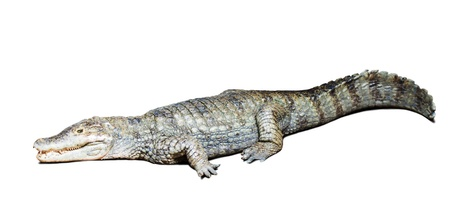 caiman: Lying spectacled caiman (Caiman crocodilus), isolated on white background with shade Stock Photo