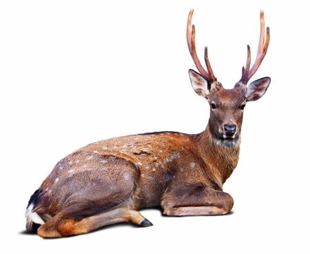 sika deer: Sitting Sika deer (Cervus nippon) over white background with shade Stock Photo