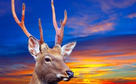 nippon: Sika deer (Cervus nippon) against sinset sky