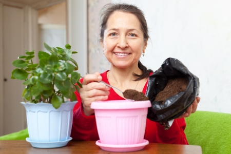transplants: woman transplants  Kalanchoe flower in flowerpot at  home