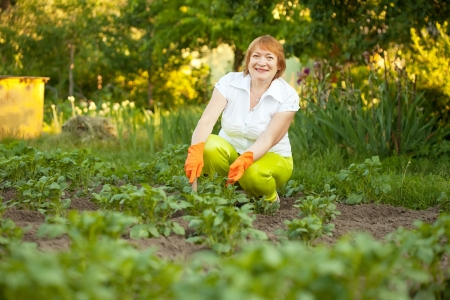 Happy mature woman working in field of potato photo