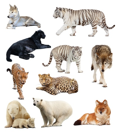 carnivores: Set of images of carnivores. Isolated over white background with shade