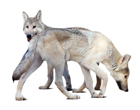 lobos sobre fondo blanco con la sombra Foto de archivo - 20014694