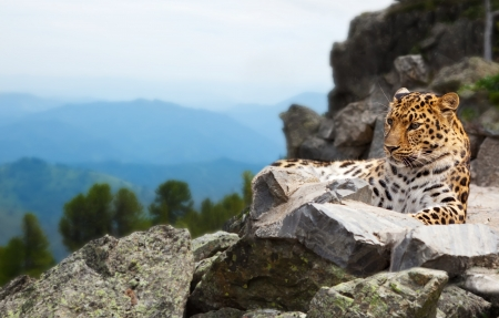 catamountain: leopard on rock against wildness area