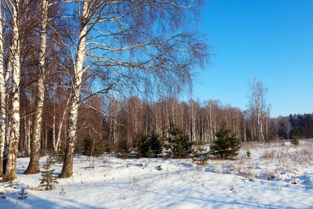 Landscape with birch forest in  winter day photo