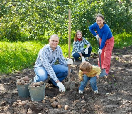 Gelukkig gezin oogst aardappelen in groenten tuin