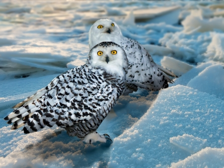 Snowy Owl (Bubo scandiacus) at ice area Stock Photo - 20161334