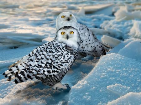 snowy owl: Snowy Owl (Bubo scandiacus) at ice area