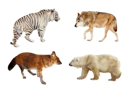 carnivora: Set of Carnivora mammals. Isolated over white background