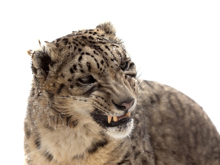 catamountain: Head of Snow leopard (Panthera uncia). Isolated over white background  Stock Photo