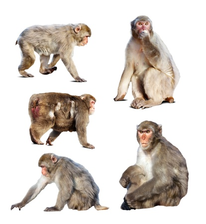 Set of few Japanese macaques (Macaca fuscata). Isolated  over white background with shade photo