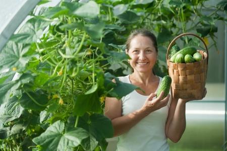 cuke: Mature woman   harvesting cucumbers in greenhouse Stock Photo