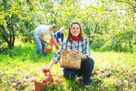 Happy family gathers apples in the garden Stock Photo - 20792007