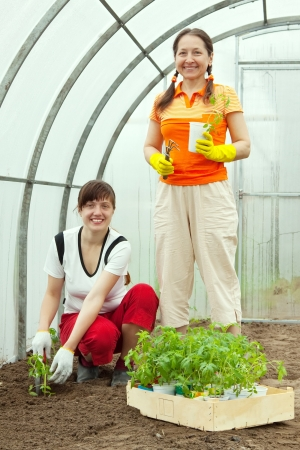 Female gardeners planting tomato spouts in hothouse photo