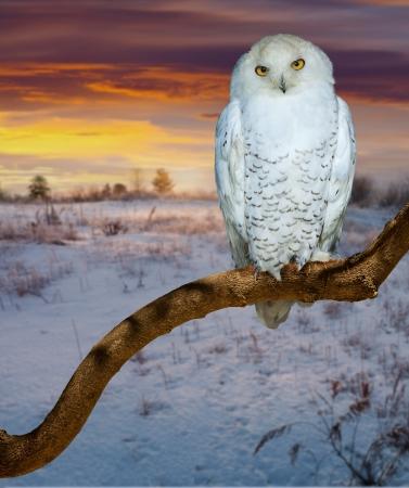 snowy owl: snowy owl  at  wildness in sunrise tim