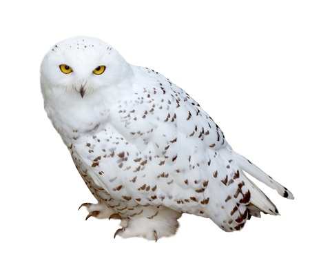 snowy owl: snowy Owl (Nyctea scandiaca). Isolated  over white background