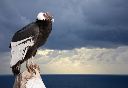 Andean condor sitting on rock  against  sky background photo