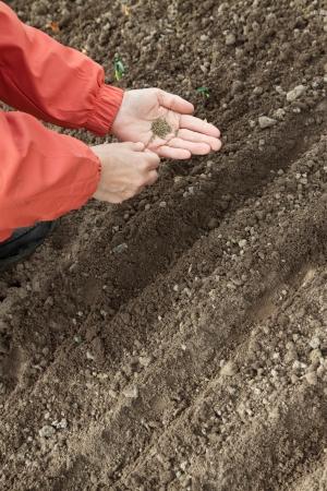 sows: Closeup of gardener  sows seeds in soil at field