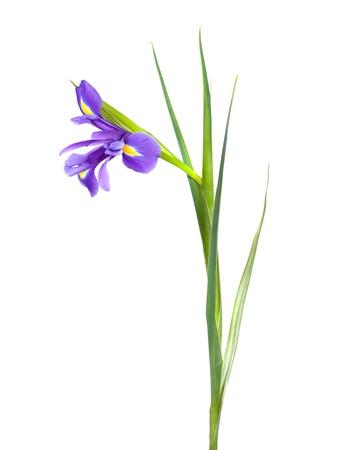 blueflag: primer plano de una sola iris en el fondo blanco Foto de archivo