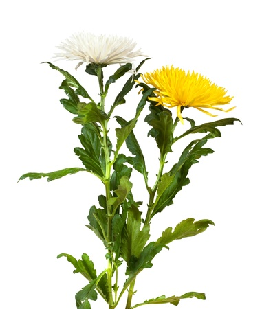Two chrysanthemums. Isolated  on white background photo