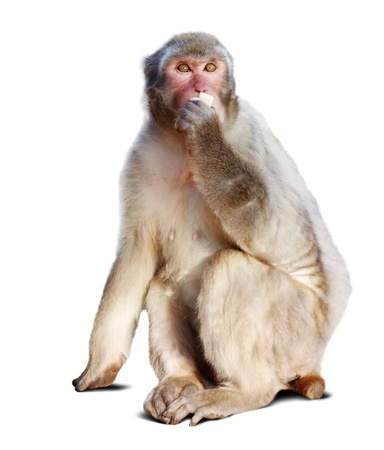 Japanese macaque. Isolated  over white background with shade Stock Photo