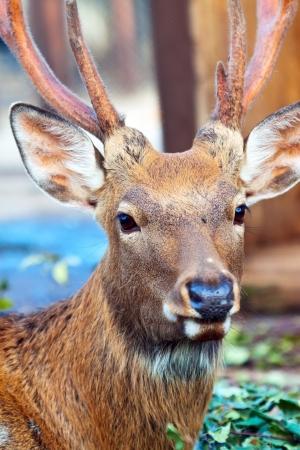 nippon: Head of deer (Cervus nippon) against blur background Stock Photo