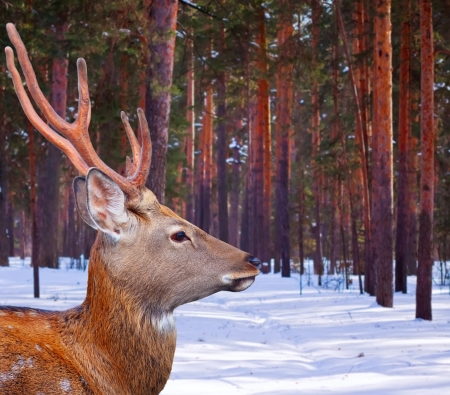 Sika deer (Cervus nippon) in winter forest photo